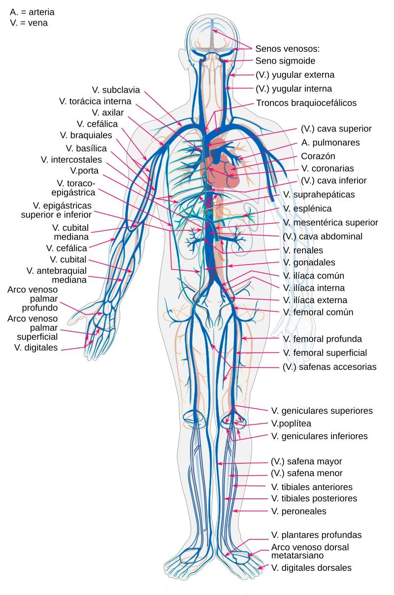 Esquema de las venas en el cuerpo humano